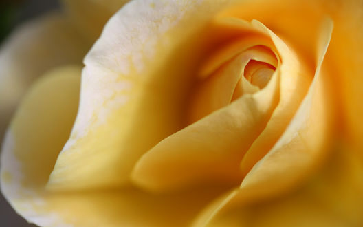 Обои Лепестки желтой розы