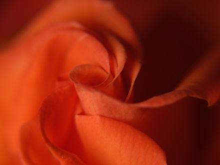 Обои Нежная роза