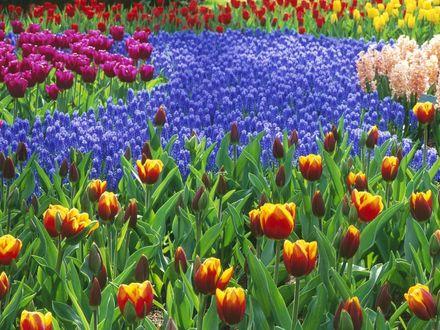Обои Цветочное поле (тюльпаны, гиацинты)