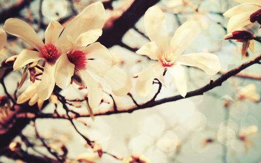 Обои Нежные цветы магнолии на ветке