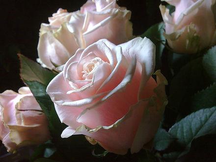 Обои Красивые розовые розы