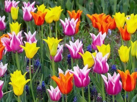 Обои Цветные тюльпаны