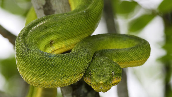 Обои Зелёная змея извивается на ветке
