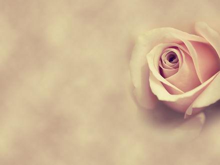 Обои Нежная розовая роза