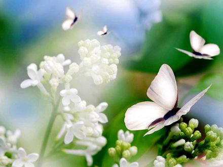 Обои Бабочки и белая сирень