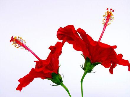 Обои Два красных гибикуса
