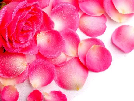 Обои Розовая роза и осыпавшиеся лепестки