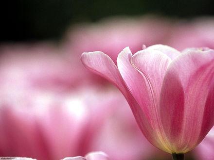 Обои Розовый тюльпан