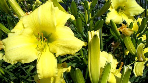 Обои Желтые лилии
