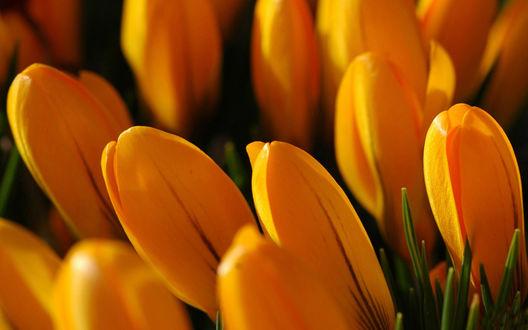 Обои Оранжевые крокусы