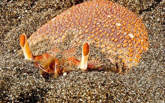 Обои Лягушачий краб двигается вперед и назад, в отличие от других видов крабов