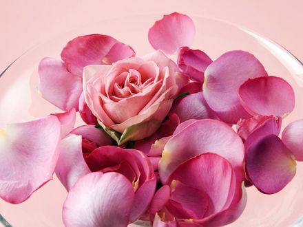 Обои Роза и лепестки