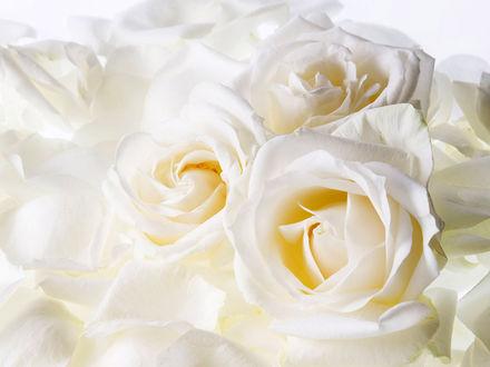 Обои Белые розы