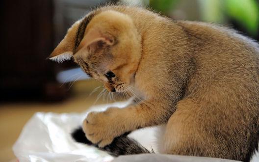 Обои Смешной котёнок обнаружил свой хвост
