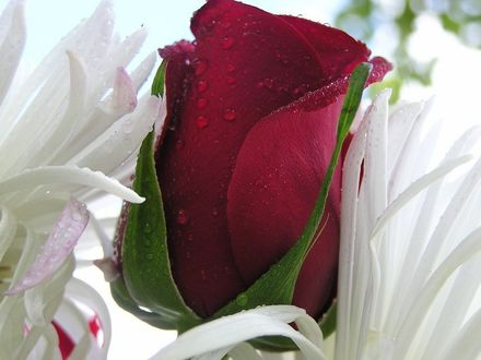 Обои Роза в каплях росы