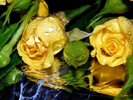 Обои Жёлтые розы в воде