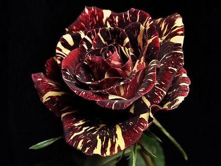 Обои Красная роза с жёлтыми полосками