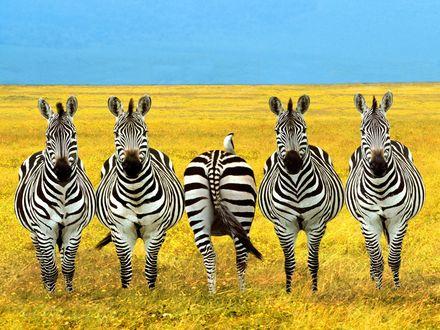 Обои Пять зебр, одна из них повернулась попой