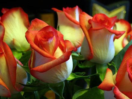 Обои Розы с оранжевыми краями