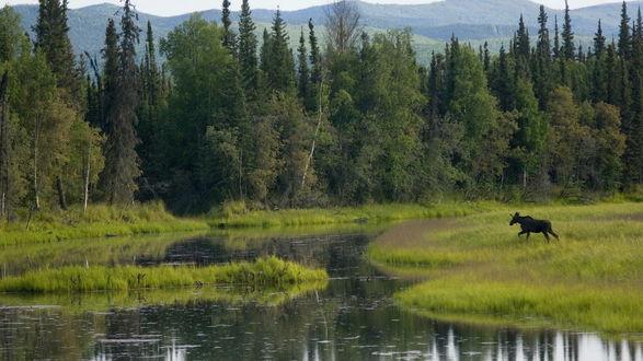 Обои Болото на окраине леса, и житель этого леса -  лось