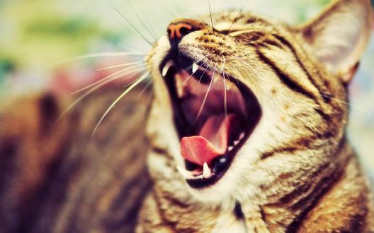 Обои Кошка зевает