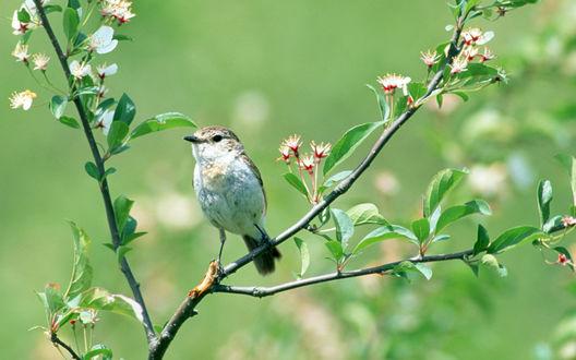 Обои Птичка на цветущей ветке