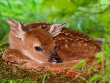 Обои Оленёнок спрятался в высокой траве и ждёт маму