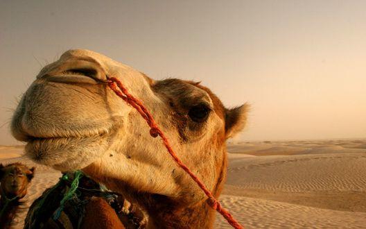 Обои Верблюд – корабль пустыни