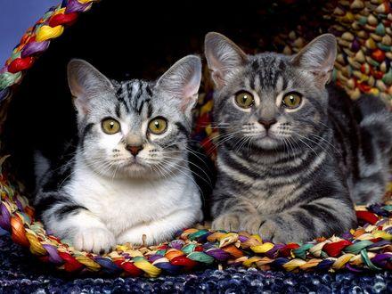 Обои Две кошки уютно устроились в своём домике