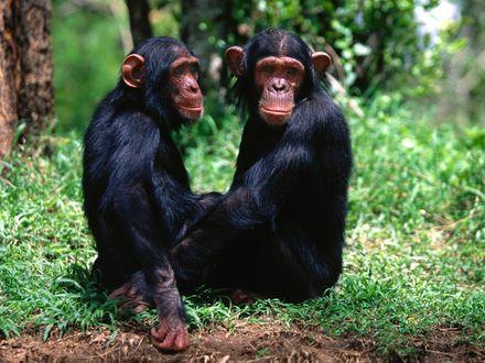 Обои Парочка обезьян подозрительно смотрит  на фотографа