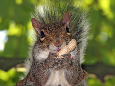 Обои Белочка с орешком