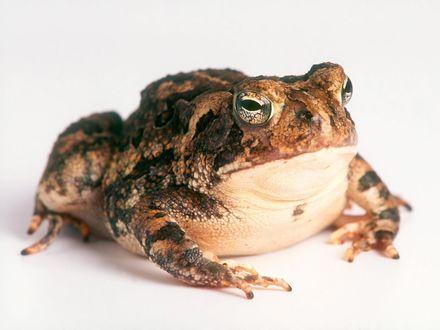 Обои Важная жаба