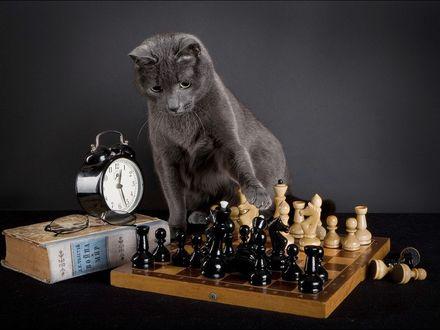 Обои Кот играет в шахматы