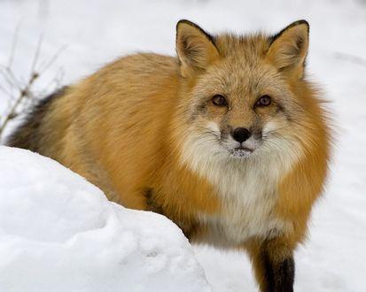 Обои Красивая лисица в снегу