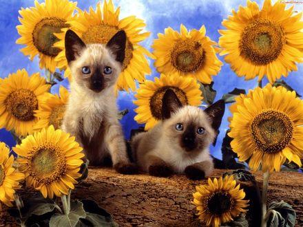 Обои Котята в подсолнухах