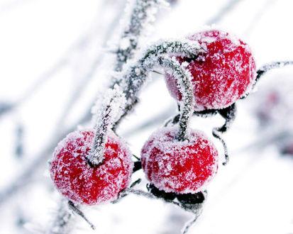 Обои Замёршие ягоды на дереве