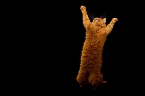 Обои Танцующий рыжий кот