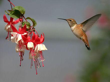 Обои Колибри  и цветок