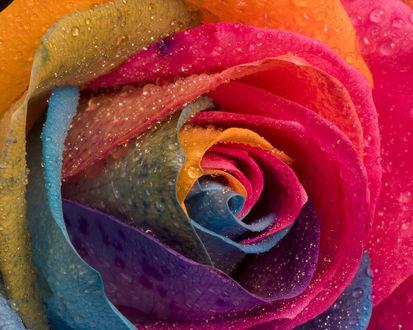 Обои Роза с цветными лепестками