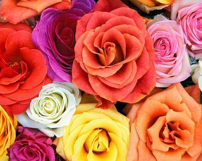 Обои Цветные бутоны роз