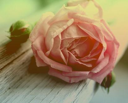 Обои Нежная роза на скамейке