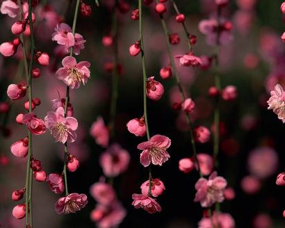 Обои Розовые цветущие ветви сакуры