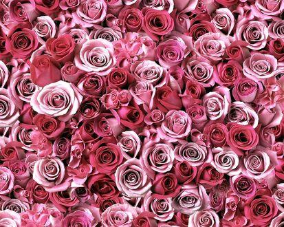 Обои Очень много розовых роз