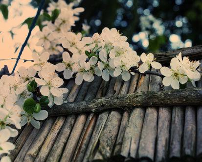 Обои Цветущие ветви