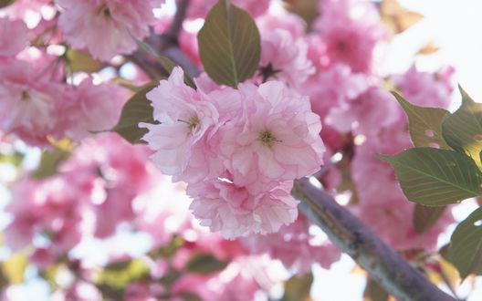 Обои Цветы  сакуры с нежными розовыми лепестками