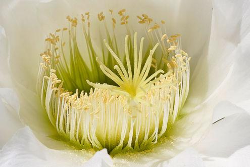 Обои Цветок кактуса