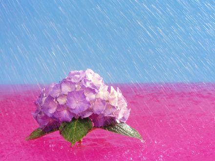 Обои Цветок светло-сиреневой гортензии под дождем