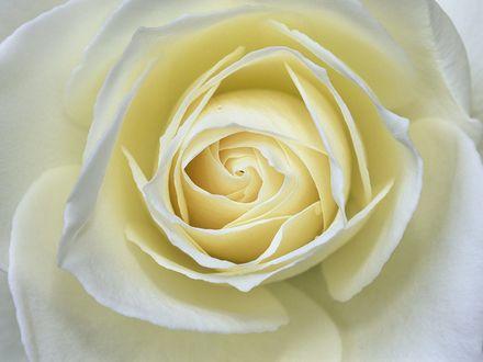 Обои Бутон белой розы