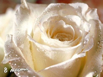 Обои Роза 8 марта