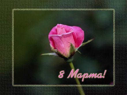 Обои Розочка 8 марта